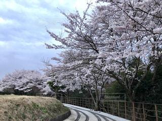 花,屋外,ピンク,線路,さくら