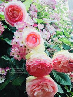 花,ピンク,バラ