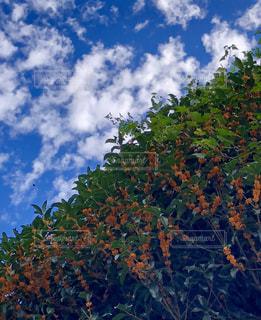 秋の空,キンモクセイ