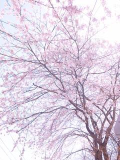 空,桜,ピンク
