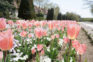 春,お花畑,ピンク,チューリップ