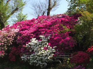 風景,花,屋外,ピンク,カラフル,満開,樹木,ツツジ,草木,ガーデン,色・表現