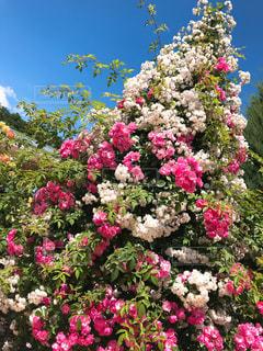 花,屋外,ピンク,バラ,桃色,あしかがフラワーパーク
