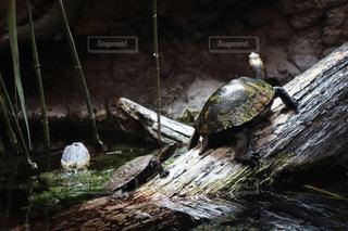亀のひとときの写真・画像素材[1694606]