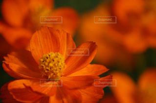 自然,花,秋,コスモス,秋桜,japan,nature,面白山高原