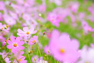 自然,風景,花,秋,花畑,コスモス,秋桜,japan,nature