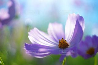 花,秋,コスモス,紫,花びら,風,秋桜,ボケ