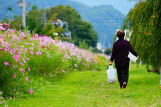 花,秋,花畑,コスモス,紫,田舎,花びら,歩道,おばあちゃん,秋桜,ボケ,散歩道