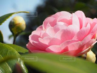 公園,花,ピンク,浜離宮