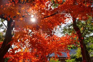 紅葉から差し込む日差しの写真・画像素材[1652892]