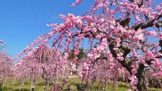 風景,花,ピンク,旅行,神戸,桃色,兵庫,お出かけ,しだれ梅,神戸ワイナリー