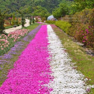 風景,花,京都,ピンク,旅行,芝桜,桃色,お出かけ,京丹後