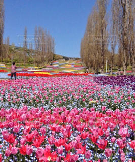 自然,風景,花,花畑,ピンク,チューリップ,旅行,レジャー,淡路島,桃色,兵庫,お出かけ,明石海峡公園