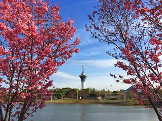 自然,風景,空,桜,大阪,ピンク,景色,タワー,旅行,レジャー,pink,お出かけ,鶴見緑地公園