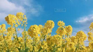 風景,花畑,黄色,菜の花,景色,兵庫,yellow,レジャー・趣味