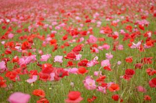 自然,花,花畑,ピンク,赤,景色,ポピー,秩父