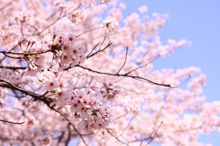 自然,花,春,桜,ピンク,青空,鮮やか,桃色,pink