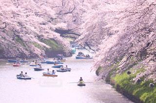 自然,風景,春,桜,屋外,東京,ピンク,ボート,景色,千鳥ヶ淵,pink