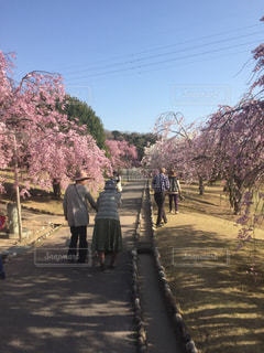 桜,芝生,しだれ桜,仲良し,夫婦,幸田文化公園