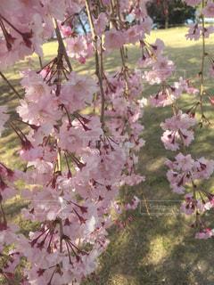 桜,芝生,しだれ桜,草木,幸田文化公園