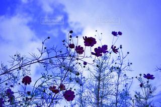 空,花,コスモス,秋桜,日田の思い出