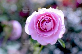 花,ピンク,バラ,薔薇,バラ園