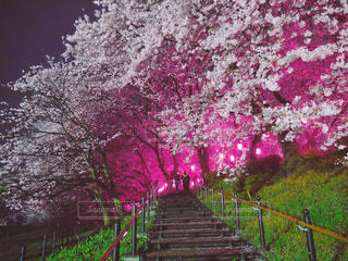 桜,ピンク,夜桜,景色,草木,おしゃれ,インスタ映え