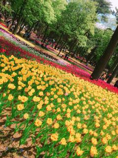 風景,花,お花畑,黄色,お花,イエロー,国営ひたち海浜公園