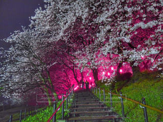 自然,花,春,桜,夜,綺麗,夜桜,お花,お花見,権現堂