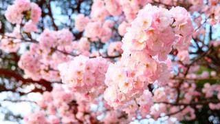 桜,景色,鮮やか