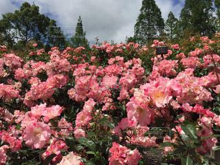 公園,ピンク,バラ,満開,薔薇,ローズ,ピンク色,pink