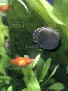 貝,水槽,モグモグ,赤い魚,パクパク