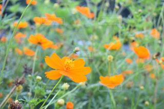 自然,花,秋,コスモス,綺麗,秋桜,Autumn,nature,フォトジェニック,こすもす,インスタ映え,コスモスの花