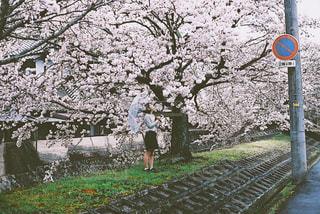 花,春,桜,木,雨,傘,ピンク,道路,河原,樹木,お花見,桃色,桜の木,雨傘,道路沿い,春色,桜咲く