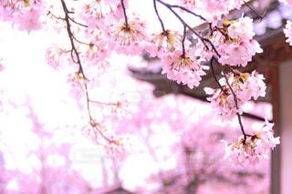 風景,春,桜,ピンク