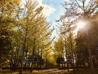 空,秋,散歩,イチョウ,銀杏,秋空,イチョウ並木