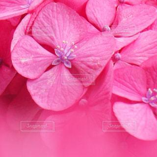 ピンク,花びら,紫陽花