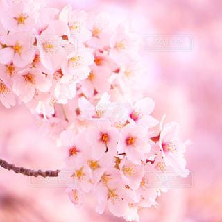 春,桜,ピンク,ふんわり