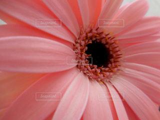 花,ピンク,フラワー,桃色,色彩,草木,ガーベラ