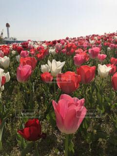 花,ピンク,チューリップ,お台場
