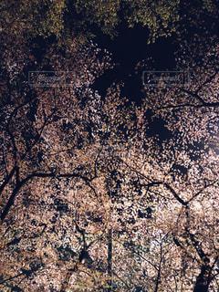 花,桜,夜,ピンク