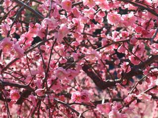 花,ピンク,梅,梅の花,pink