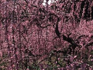 花,ピンク,梅,pink,犬山市