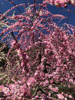花,ピンク,梅,梅の花,pink,犬山市