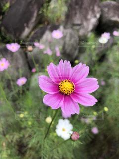 ピンク,コスモス,長野,昼神温泉郷