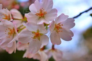 風景,花,桜,屋外,ピンク,青空,花見,野外,ピンク色,ソメイヨシノ