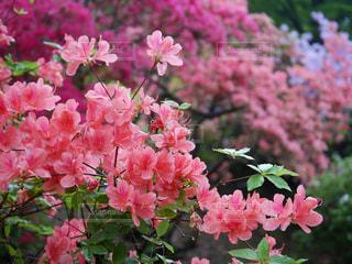 近くの植物にピンクの花のアップの写真・画像素材[1444550]