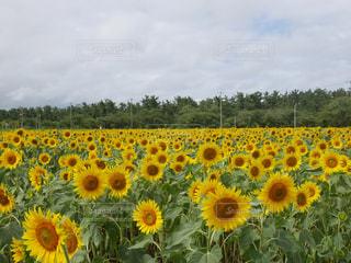 ひまわり畑の写真・画像素材[1444584]