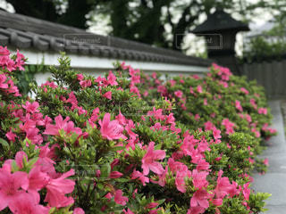 植物にピンクの花の写真・画像素材[1460788]
