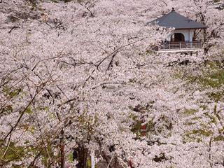桜,ピンク,花見,ピンク色,桃色,pink,本荘公園